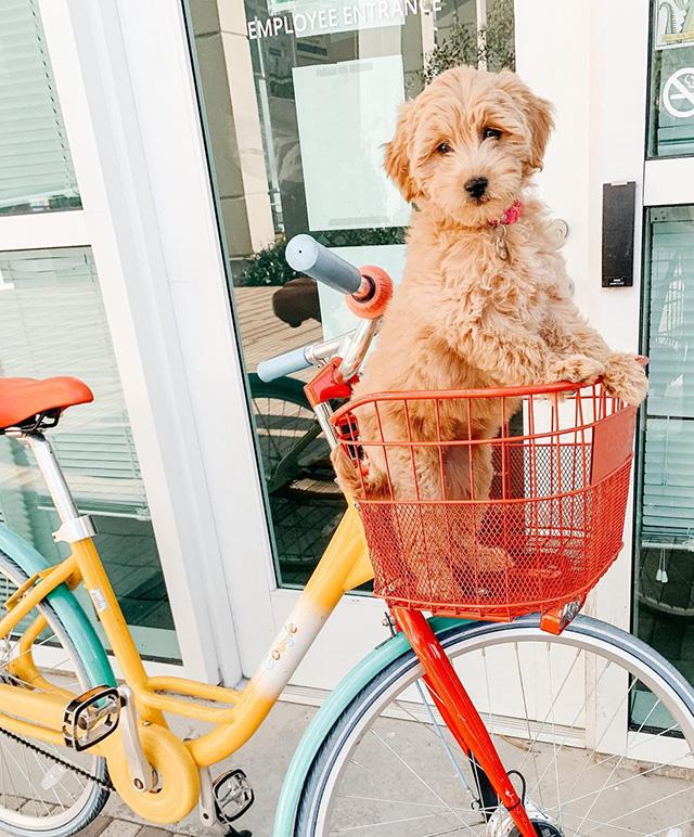 Cute Dog In Google Bike Basket